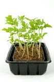 Box of tomato seedlings. Box of small tomato seedlings on white background Stock Image