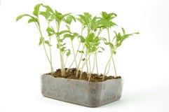 Box of tomato seedlings. Box of small tomato seedlings on white background royalty free stock photos