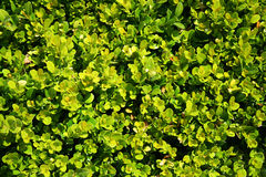 Box tree, Buxus, garden background Royalty Free Stock Images