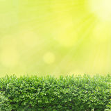 Box tree hedge Royalty Free Stock Images