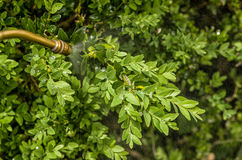 Box tree moth is sprayed with pesticide royalty free stock image