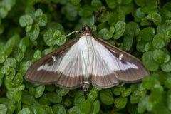 Box tree moth & x28;Cydalima perspectalis& x29; Royalty Free Stock Photo