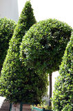 Box tree in the pot. Box tree - buxus breeding in the wooden pot and pruning in the small configuration tree Stock Photo
