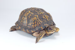 Box Turtle. With its head sticking out isolated on white Royalty Free Stock Photos