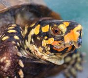 Box Turtle. A close up of a yellow painted box turtle's head stock photography