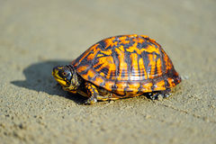 Box Turtle. Eastern Box Turtle crossing a dirt road