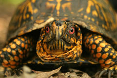 Box Turtle. A close-up of a box turtle Stock Images
