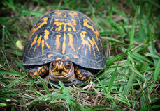 Box Turtle. A brightly decorated box turtle poses for the camera half out of his shell royalty free stock photography