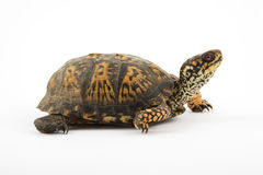 Box Turtle stock photos
