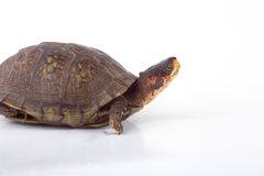 Box Turtle. A box turtle  on a white background stock images