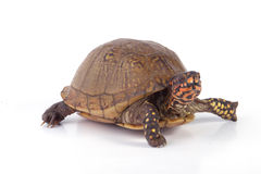 Box Turtle. A box turtle  on a white background royalty free stock images