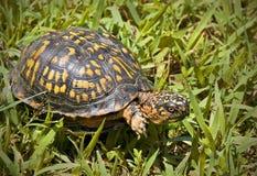 Box turtle Stock Photos