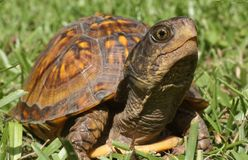 Box Turtle Royalty Free Stock Image