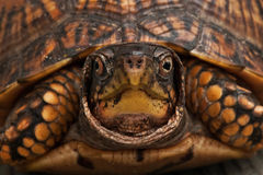 Box Turtle Close-up. Close-up photograph of a box turtle Stock Image