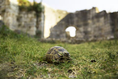 Box Turtle crawling on a green grass between ancient walls of Miletus city Stock Photos