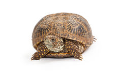 Box Turtle Front View. Front view of a Terrapene carolina, commonly known as a Box Turtle on a white background Royalty Free Stock Images