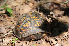Box turtle royalty free stock photography