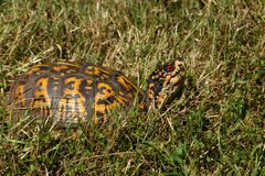 Box Turtle II. Eastern (USA) Box Turtle photographed in a northern Virginia woodlot royalty free stock photo