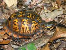Box Turtle Illinois Forest Stock Image