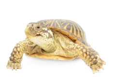 Box Turtle Royalty Free Stock Photos