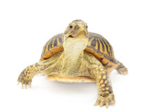 Box Turtle. Isolated in front of white background Stock Photo