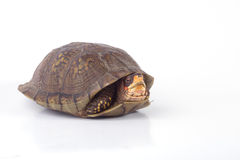 Box Turtle. A box turtle isolated on a white background Royalty Free Stock Image