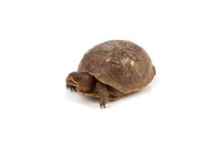 Box Turtle. A box turtle isolated on a white background Stock Photography