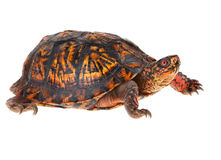 Box Turtle. Male Eastern Box Turtle - United States North America Land Turtle Royalty Free Stock Photography