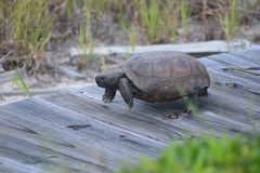 The gopher tortoise is single-minded in its drive to get to its nest along the North Florida beach boardwalk. The Box Turtle moves quickly when using the wooden royalty free stock photos