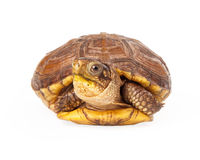 Box turtle poking out of shell Royalty Free Stock Photos