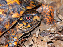 Box Turtle Southern Illinois Royalty Free Stock Photography