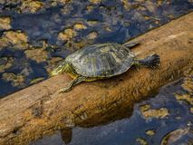 Box Turtle Sunning It Up. Image of a turtle sunning himself on a piece of driftwood. Clumps of algae nearby. Taken near Springfield Missouri in mid Spring stock photography