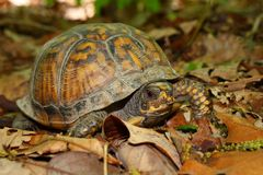 Box Turtle (Terrapene carolina) Royalty Free Stock Image