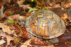 Box Turtle (Terrapene carolina) Royalty Free Stock Images
