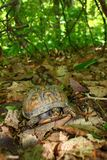 Box Turtle (Terrapene carolina) Stock Photography
