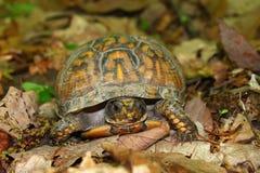 Box Turtle (Terrapene carolina) Royalty Free Stock Image