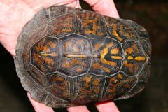 Box Turtle (Terrapene carolina) Royalty Free Stock Photography