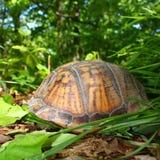Box Turtle (Terrapene carolina) Royalty Free Stock Photos