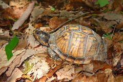 Box Turtle (Terrapene carolina) Stock Images