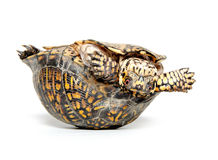 Box turtle upside down Royalty Free Stock Images