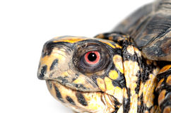 Box turtle upside down Royalty Free Stock Image