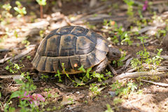 Box Turtle is walking Royalty Free Stock Photography
