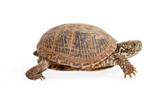 Box Turtle Walking Side View Royalty Free Stock Photo