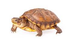 Box Turtle Walking Royalty Free Stock Photo