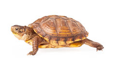 Box Turtle Walking to the side Stock Photography