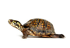 Box turtle on white. Box turtle walking on white background Royalty Free Stock Image