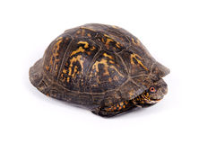 Box turtle on white background. A box turtle hides in its shell on a white background Royalty Free Stock Photography