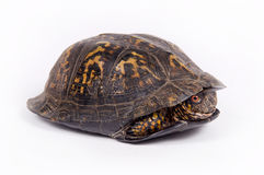 Box turtle on white background. A box turtle hides in its shell on a white background Royalty Free Stock Images