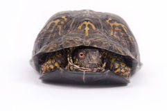 Box turtle on white background. A box turtle hides in its shell on a white background Stock Photo