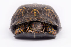 Box turtle on white background. A box turtle hides in its shell on a white background Stock Photos